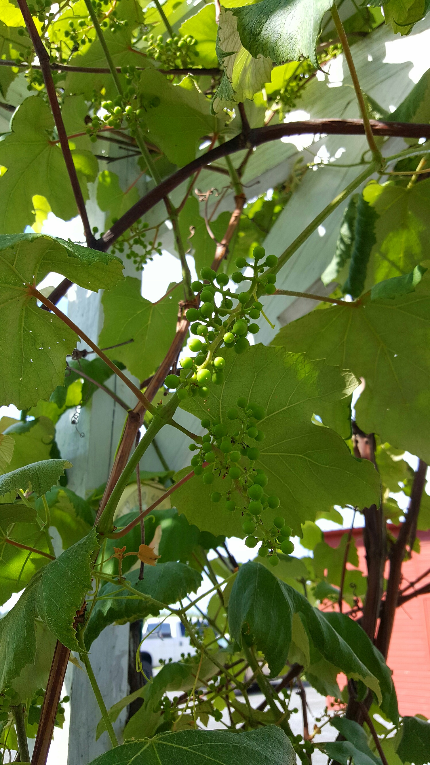 Concord Grapes beginning to grow