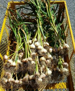 Fresh garlic harvested from our Chef's Garden.
