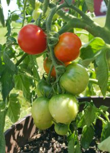 Vine ripening tomatoes from our Chef's Garden