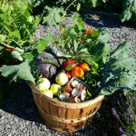 Bushel basket full of fresh fruits and vegetables from our chefs garden